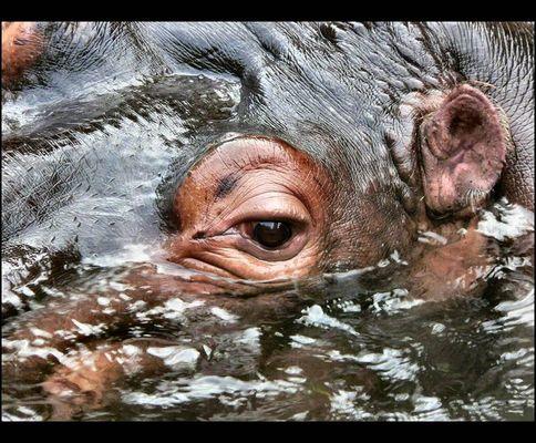 Im Auge des Flusspferds