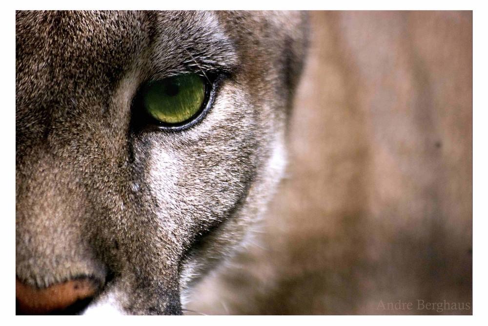 Im Auge des Pumas