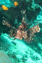 Im Auge des Rotfeuerfisch