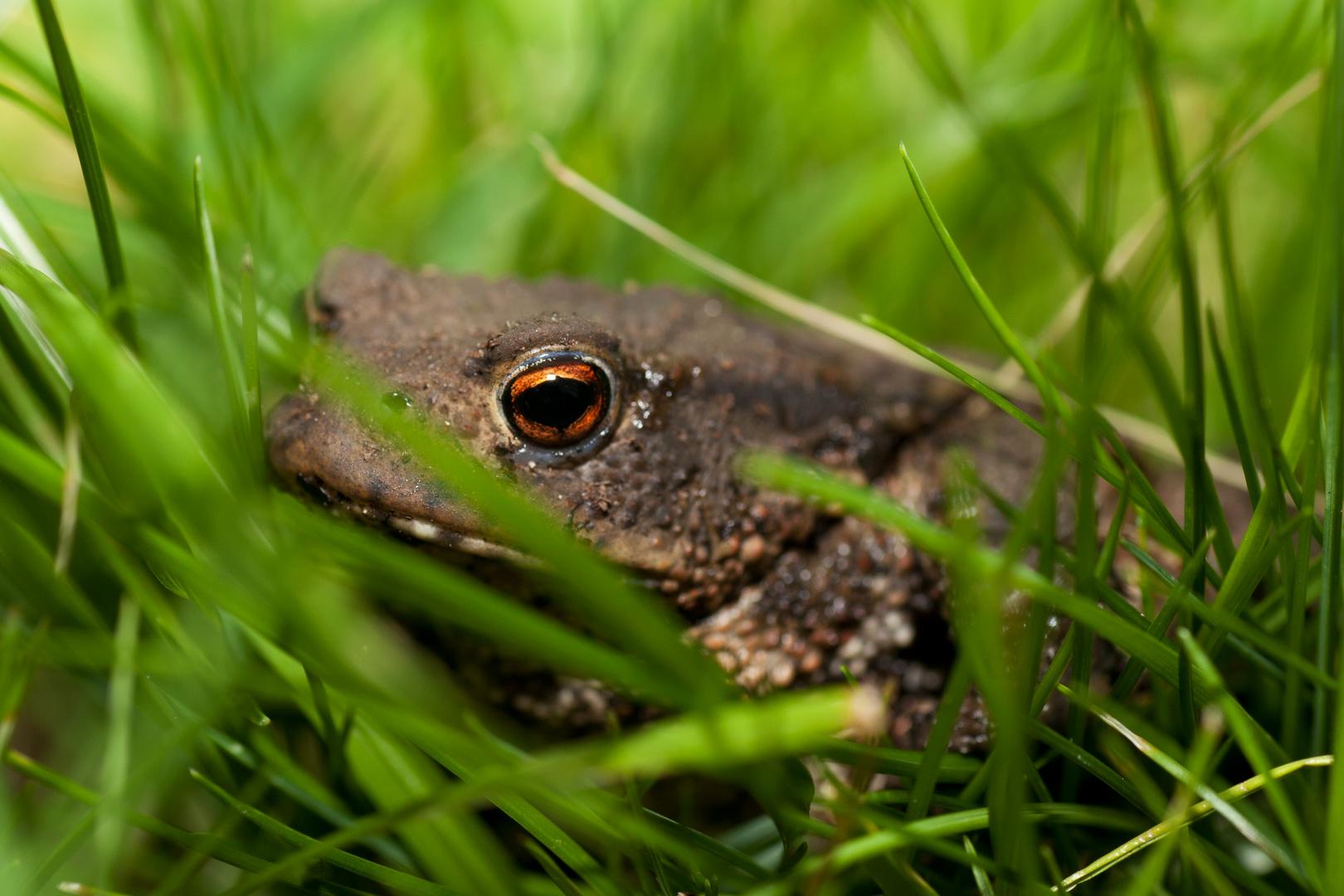 Im Blickfeld - Erdkröte