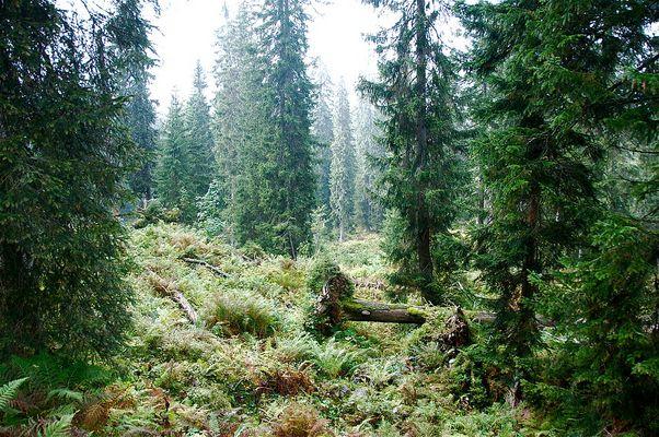 Im Bödmerenwald am Pragelpass