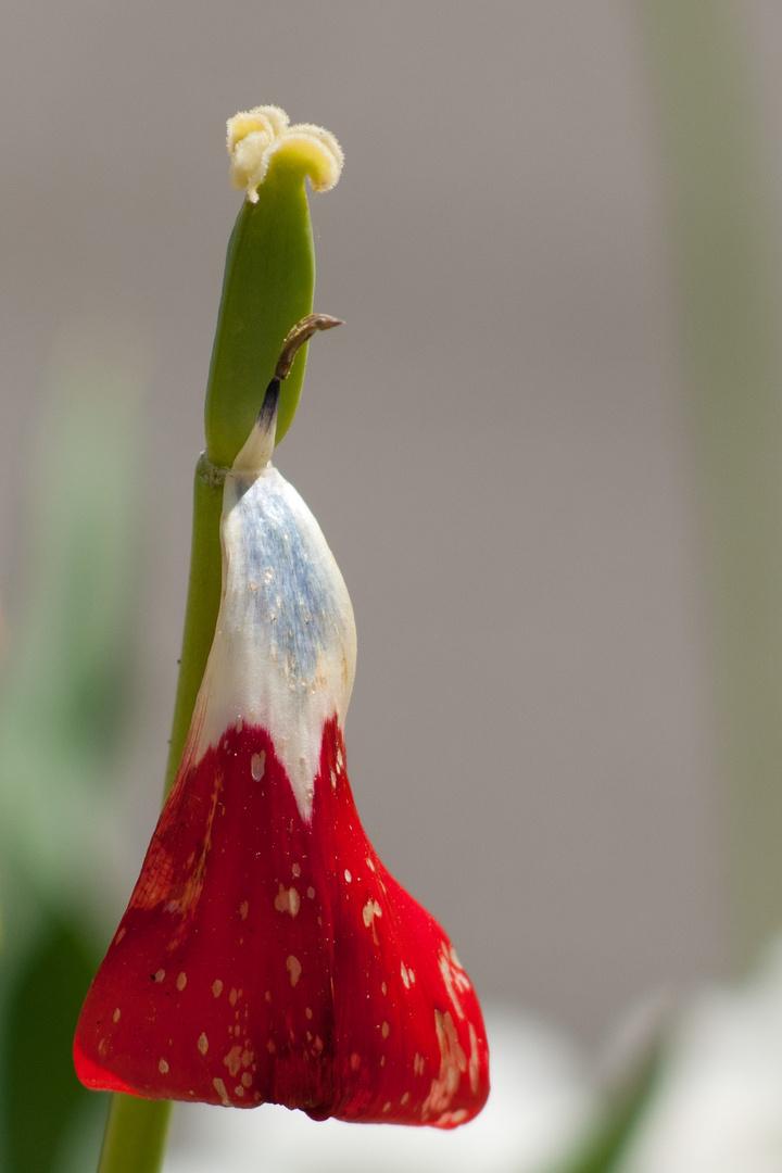 Im Bot. Garten Augsburg blüht die Tricolore
