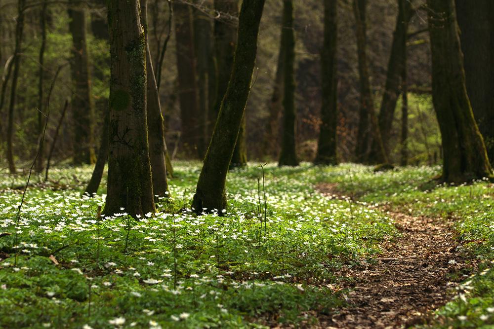 Im Buschwindröschenwald