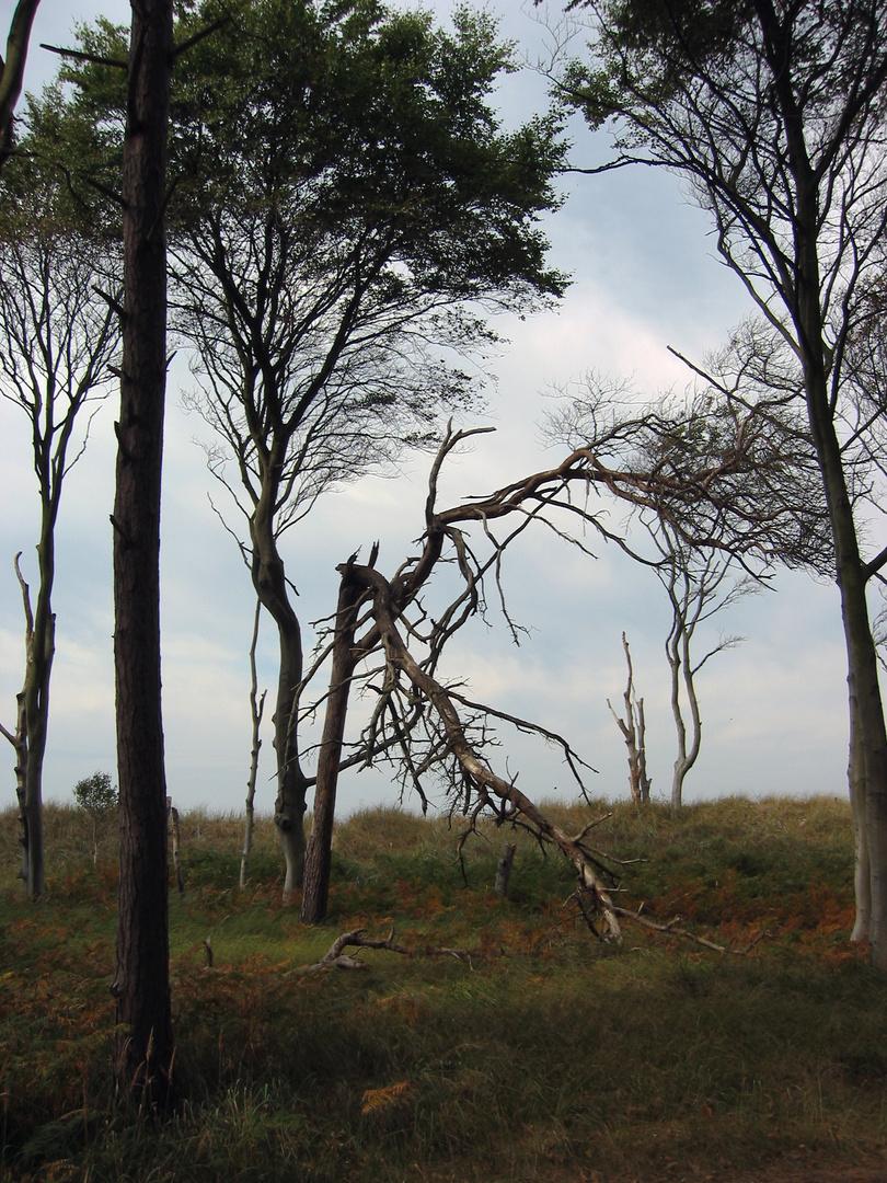 Im Darßer Wald 2