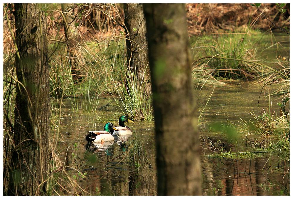 Im dichten Fichtendickicht - wohnen auch ein paar Enten.