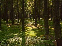 im dichten Fichtenwald