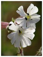 Im Frühtau zur Blüte