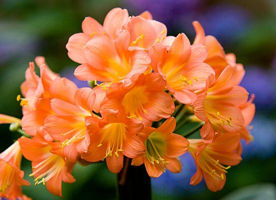 Im Garten (1) - Amaryllis