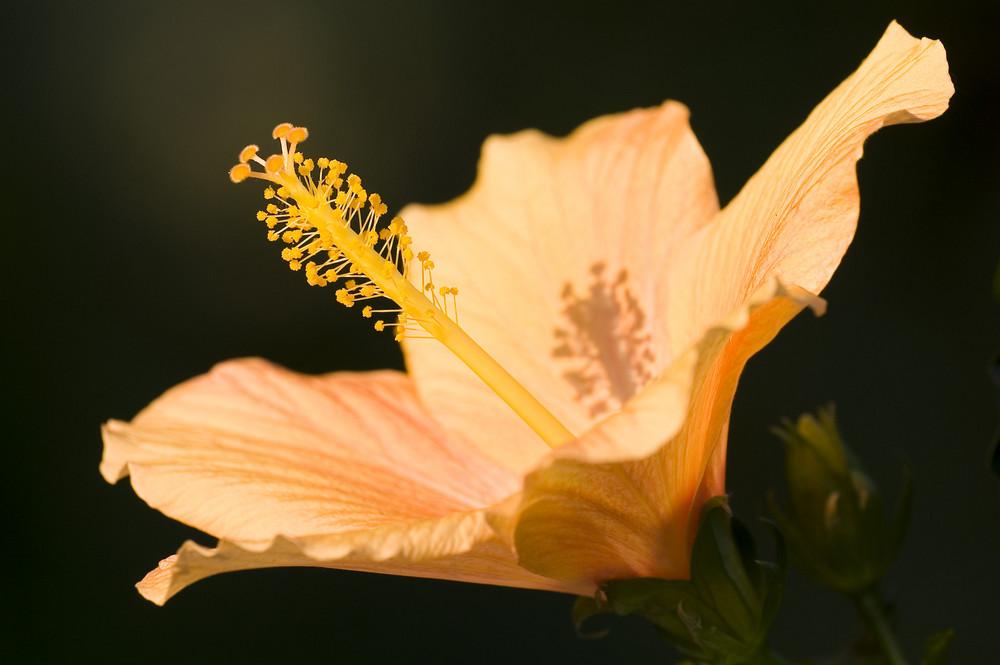 Im Garten - Hibiskusblüte im Abendlicht