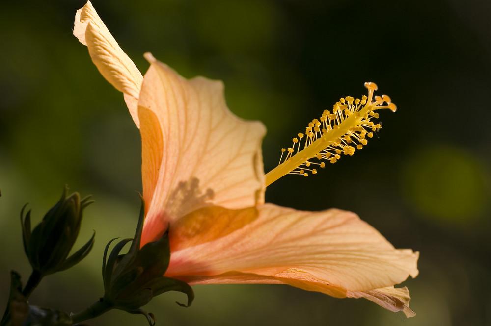Im Garten - Hibiskusblüte im Licht der letzten Sonnenstrahlen 2