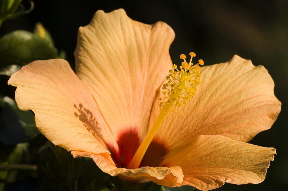 Im Garten - Hibiskusblüte im Licht der letzten Sonnenstrahlen 3