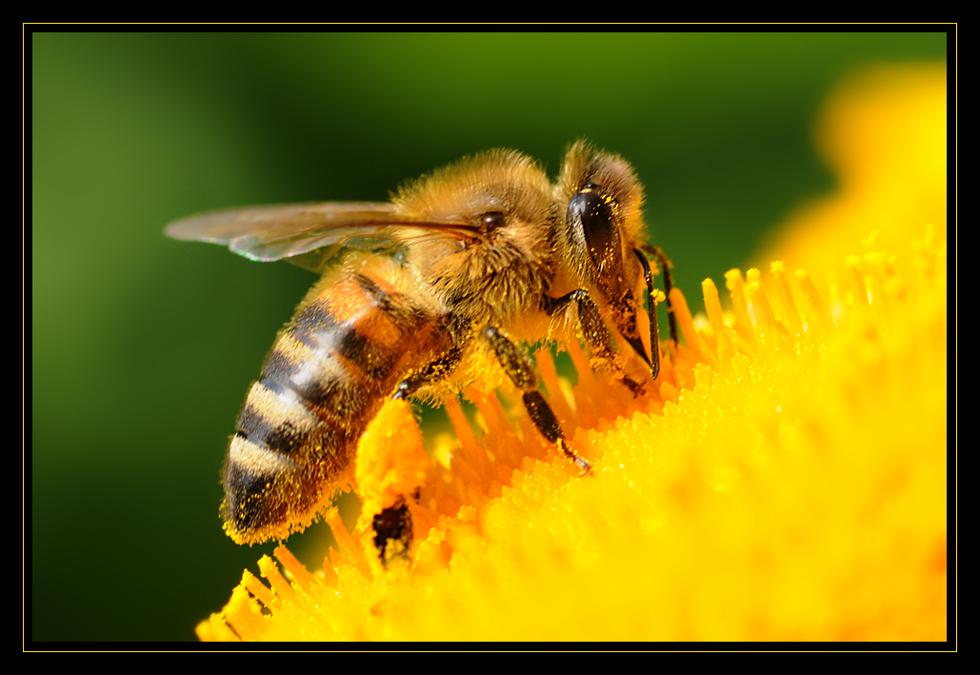 im gold - gelben Pollenparadies...
