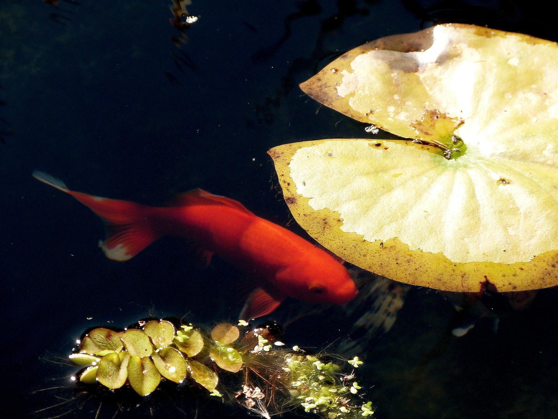 < Im Goldteich fischen >