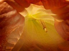 Im Inneren der Engelstrompete (Sinnliche Blüten 2010)