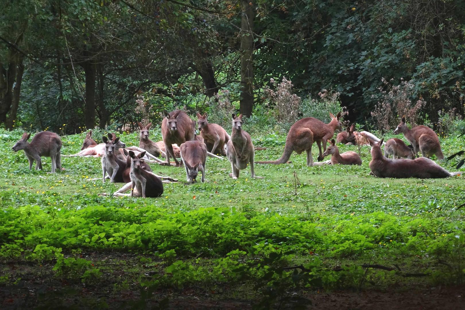 Im Känguruwald des Neuwieder Zoos