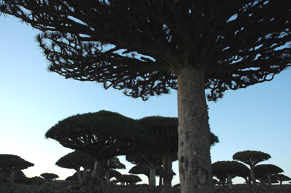 Im Land der Drachenblutbäume 07