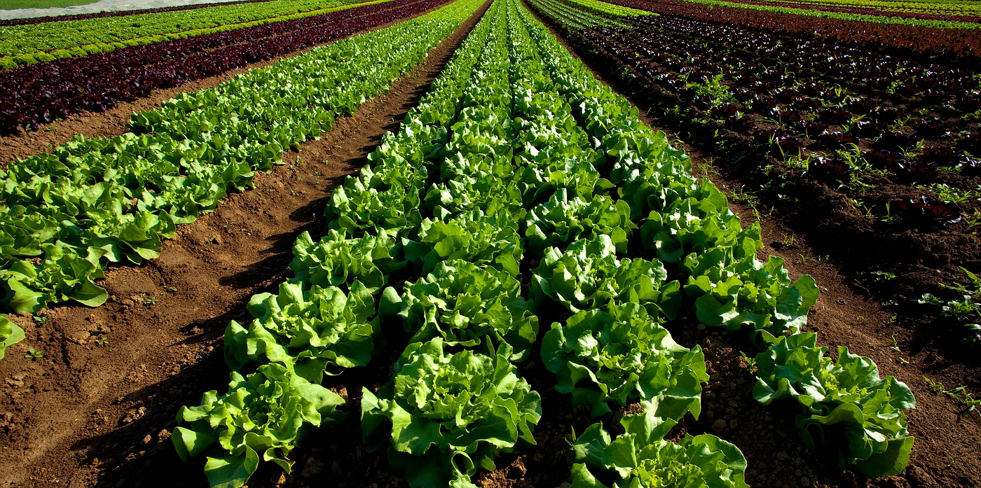 Im Land der Salatköpfe- Var. 2