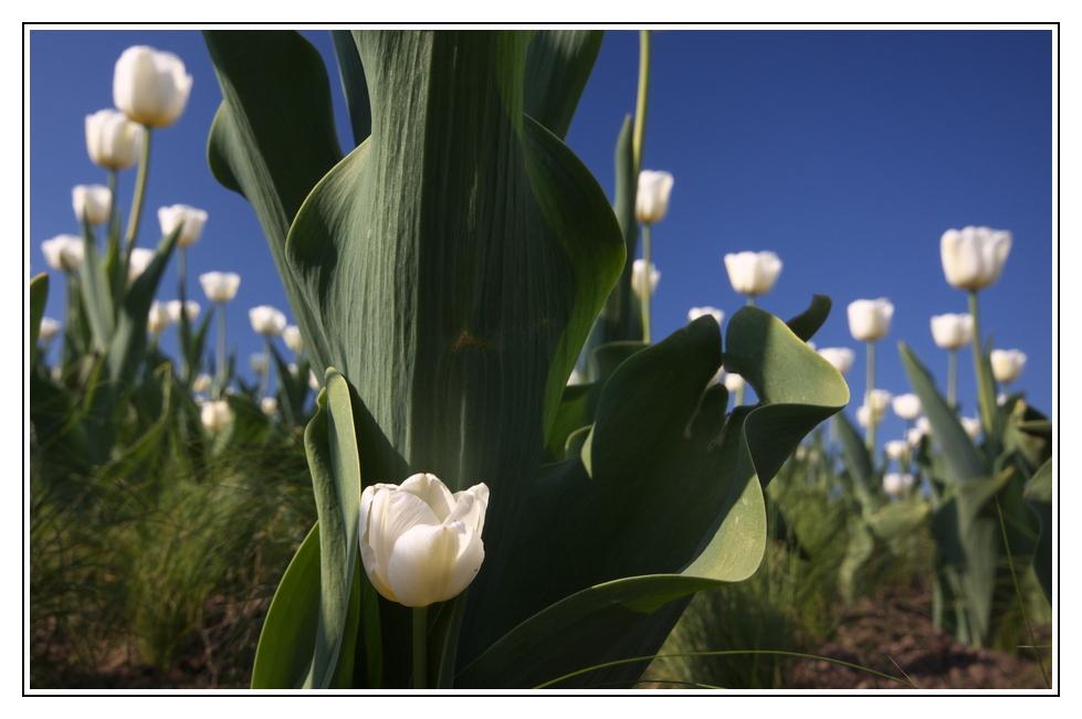 Im Land der weißen Tulpen
