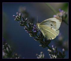 Im Lavendel....