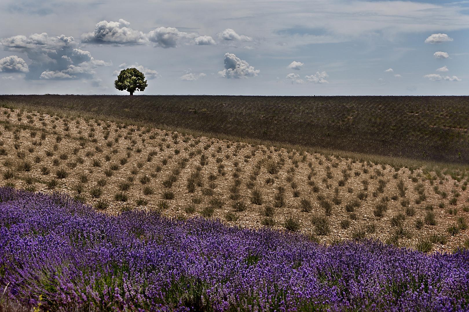 Im Lavendelland II
