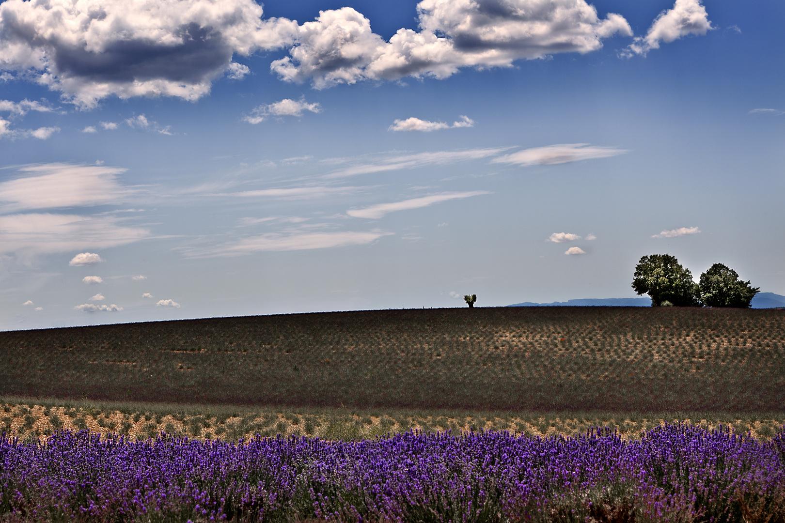 Im Lavendelland III