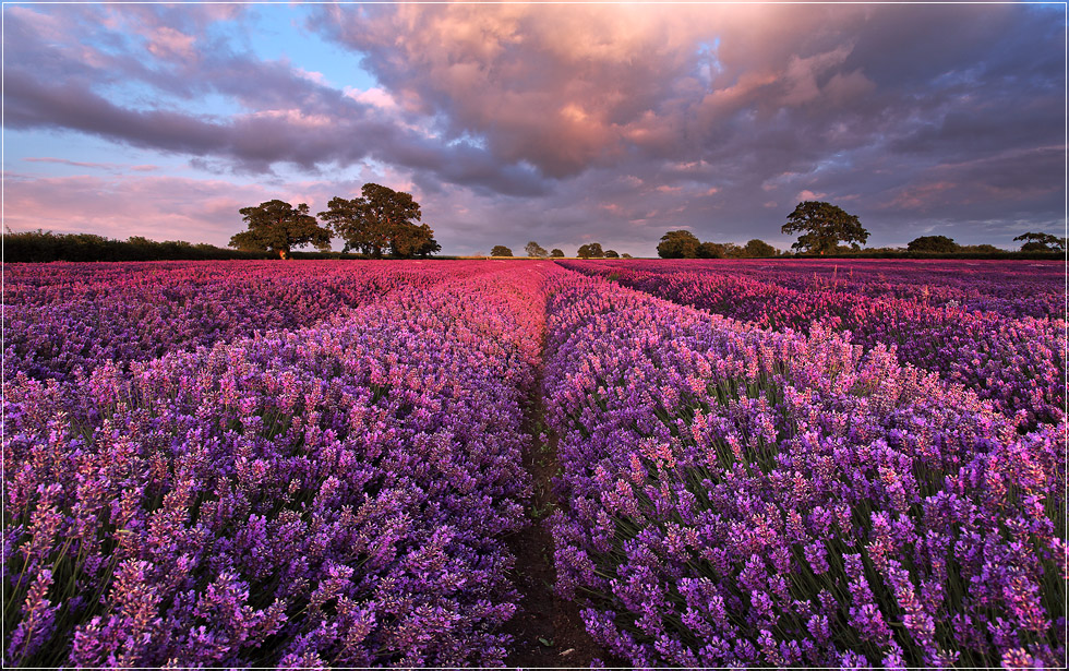 Im Lavendelmeer