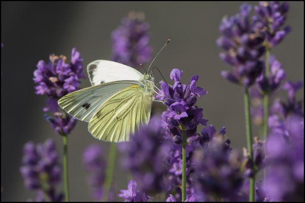 Im Lavendelrausch (5)