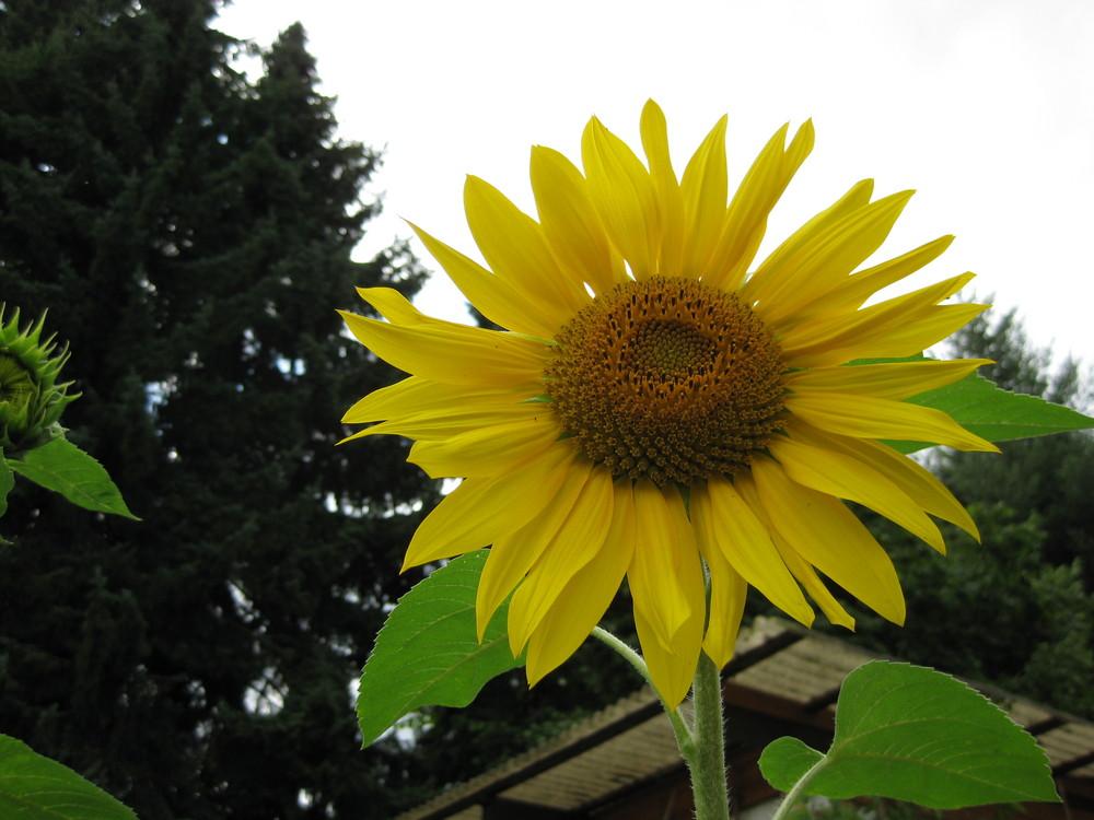 Im Mittelpunkt die Sonnenblume