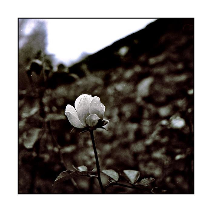 Im Namen der Rose (November Rose)