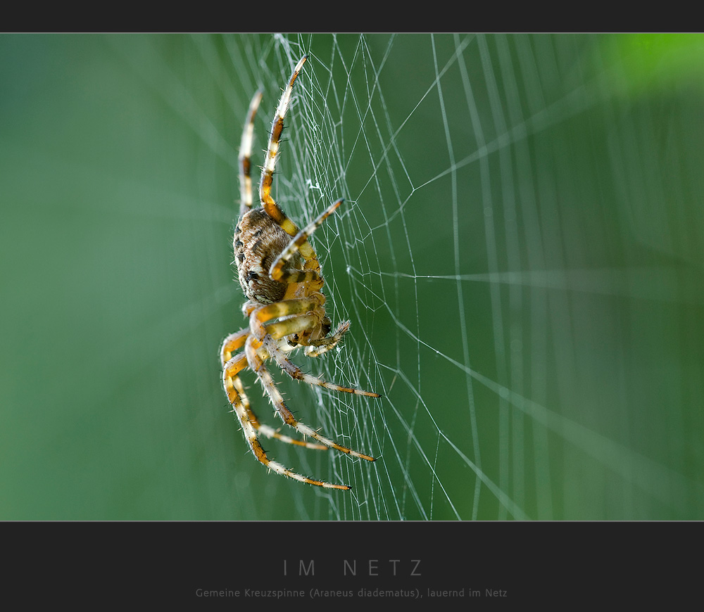 Im Netz - Gemeine Kreuzspinne (Araneus diadematus), lauernd im Netz