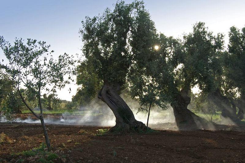 Im Olivenhain ...