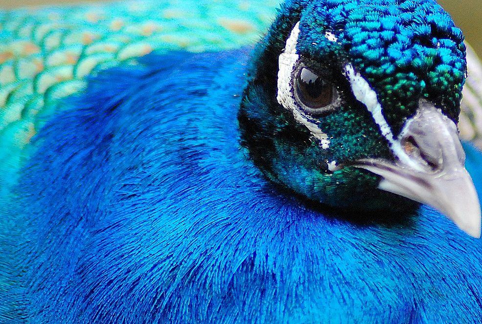 Im Porträt: Blaufarbenrausch mit Pfau bei 300 mm
