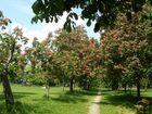 Im Prater blühen wieder die Bäume...