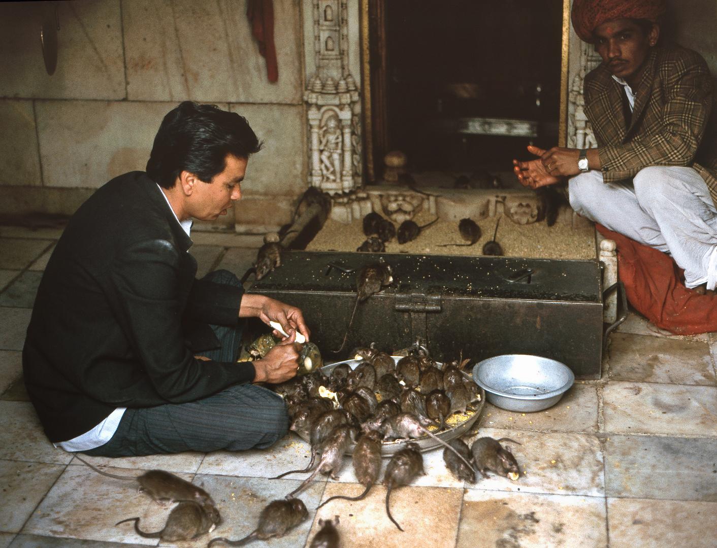 Im Rattentempel von Deshnok, Rajasthan/Indien 1994