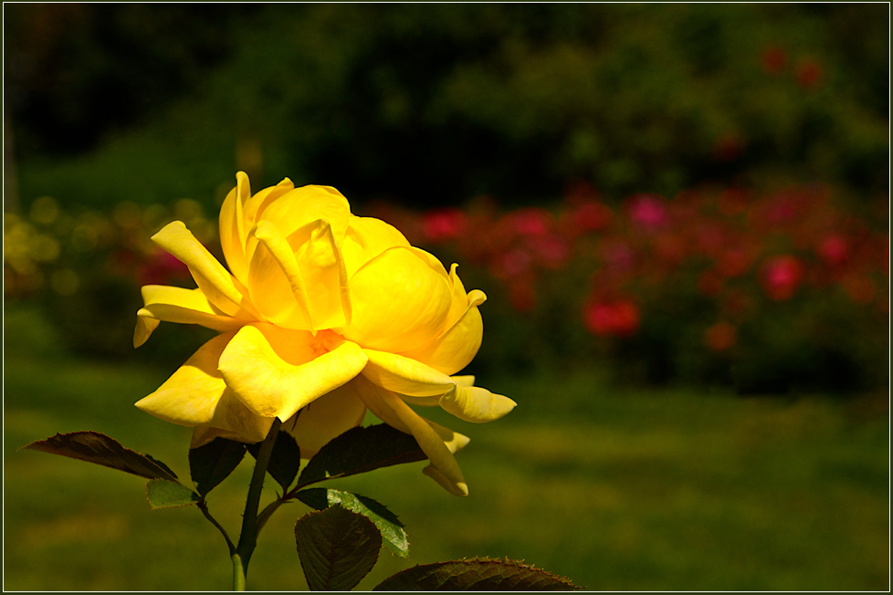 ... im rosengarten ...