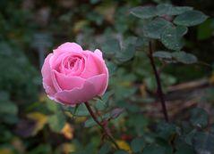 Im Rosengarten der Kürfürstlichen Burg Eltville am 5. Dezember 2015
