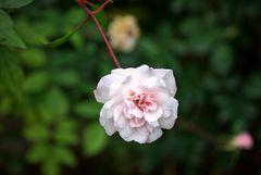 Im Rosengarten der Kurfürstlichen Burg Eltville