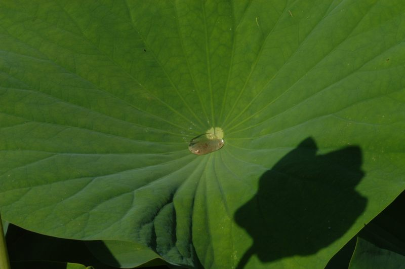 Im Schatten der  Lotusblüte....