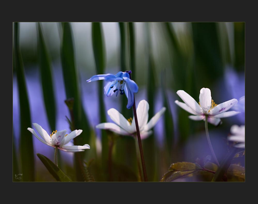 Im Schatten der Tulpen