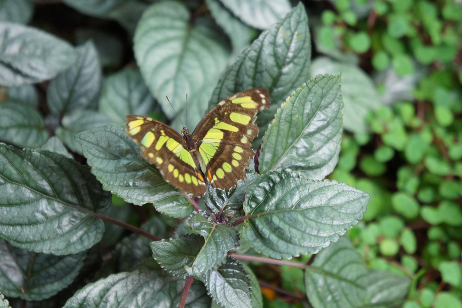 Im Schmetterlingshaus #1