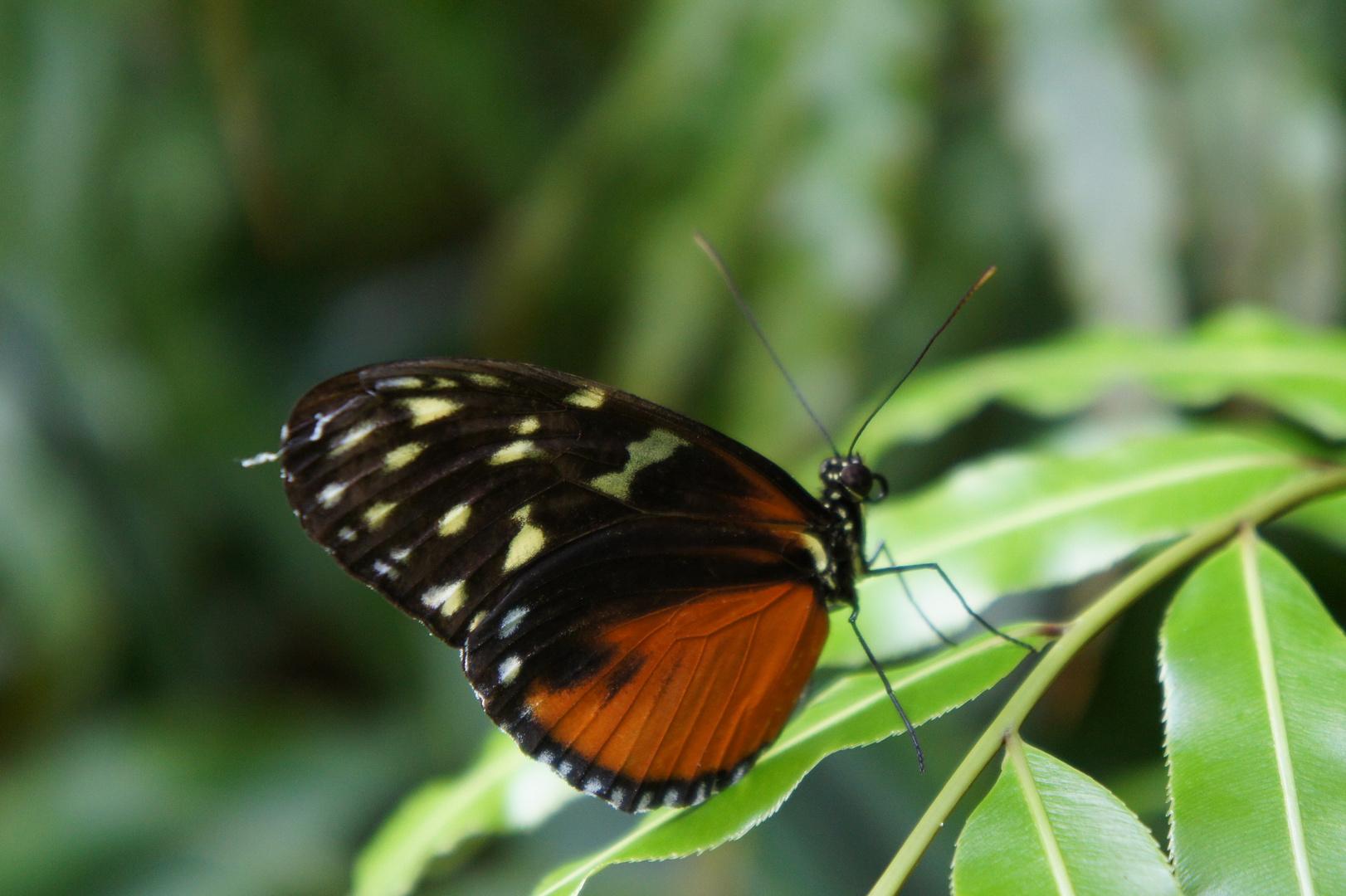 Im Schmetterlingshaus #7