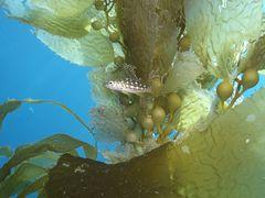 Im Schutz vom Kelp