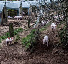Im Schweins-Galopp