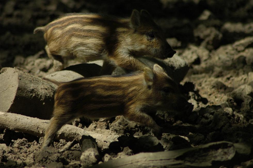 Im Schweinsgalopp durchs Unterholz