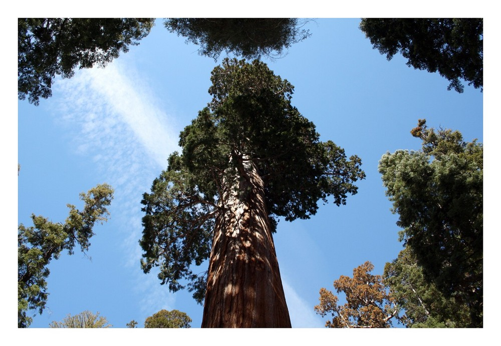 """im Sequoia NP ...das müsste der """"General Sherman Tree"""" sein"""