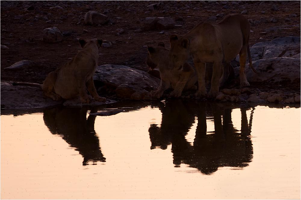 Im Spiegelbild der Löwen