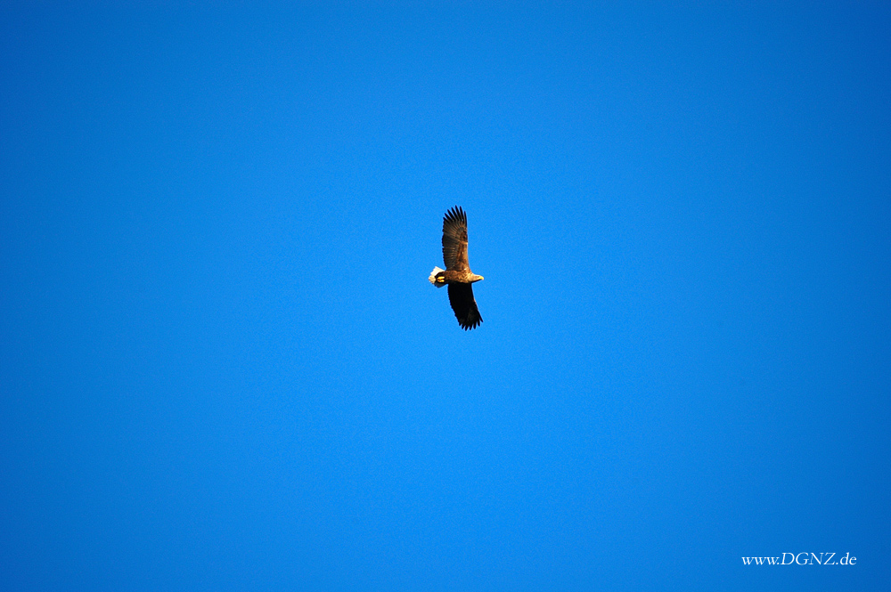 """Im Spreewald gibt es sie auch """"Seeadler"""""""