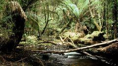 Im tasmanischen Regenwald