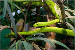 im Terra-Zoo Rheinberg, grüne Mamba