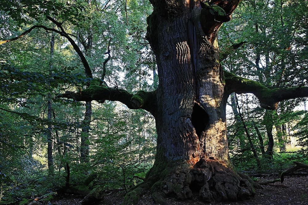 Im Urwald Sababurg (2)
